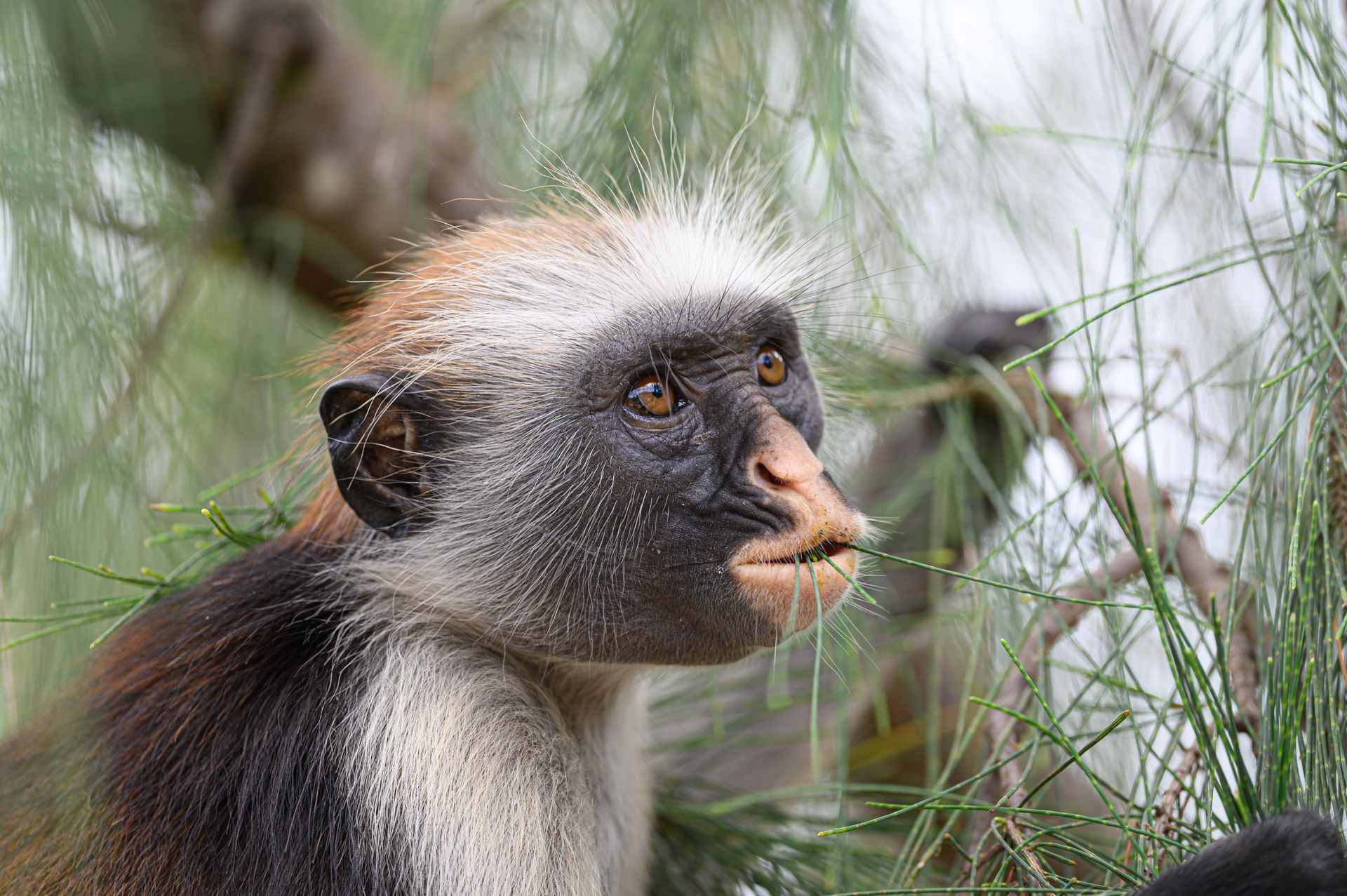 Tanzania, kleine aap